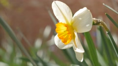 Beautiful Narcissus poeticus bud  in the garden 4K  Stock Footage