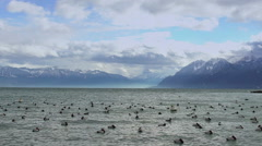 Flock of wild ducks floating on waves of lake, stormy weather in Alps, slow-mo Stock Footage
