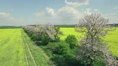 Flying over a rapeseed field next to a row of blooming fruit trees Stock Footage