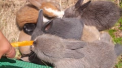 Care, Love and Compassion to Animals Concept. Feeding Rabbits - stock footage