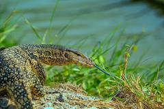 Asian Aquatic Monitor Lizard (Varanus salvator) Stock Photos