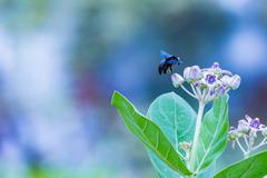 A Black Sting-less Bee Stock Photos
