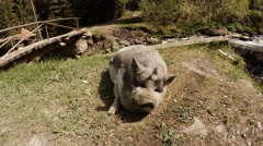 Pig With Gray Hair Lying on Ground Next to a Bridge Over a Stream in a Stock Footage