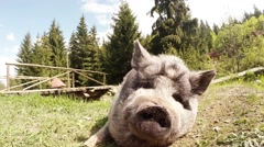 Pig With Gray Hair Lying on the Ground in a Mountain Pen Close-Up Stock Footage