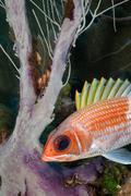 Squirrelfish and sea plume Stock Photos