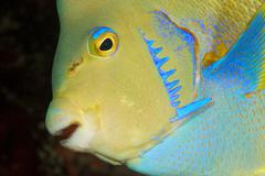 Townsend angelfish, Florida - stock photo