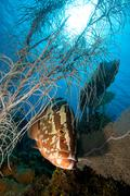 Nassau grouper and soft coral - stock photo