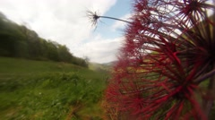 Part of Dried Red Umbrella Plant Close-Up on a Background of Mountainous Stock Footage