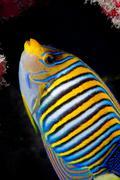 Regal angelfish on coral reef Stock Photos