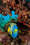 Queen angelfish, Florida - stock photo