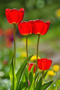 Bright red tulips in flowerbed - stock photo