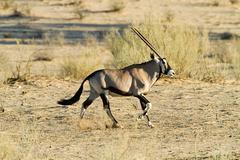 Gemsbok walking in desert Stock Photos