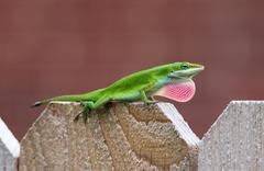 Green Anole lizard (Anolis carolinensis) - stock photo