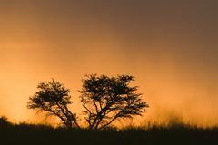 Sunset, Kalahari Desert, Southern Africa, Africa - stock photo