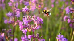 Bumblebee collects nectar from pink flowers, slow motion Stock Footage