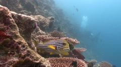 A flock of colorful tropical fish sweetlips. Stock Footage