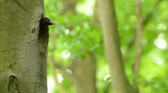 Black Woodpecker - Dryocopus martius - stock footage