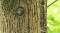 Glaucidium passerinum - Eurasian Pygmy-Owl Stock Footage