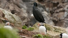 European Shag - Phalacrocorax aristotelis in the puffin colony Stock Footage