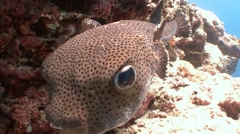 Funny puffer fish. Diving in the Indian ocean near the Maldives. - stock footage