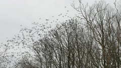 Many birds flying in the winter wood. Grey sky, trees silhouette. - stock footage