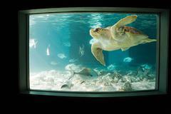 Sea turtle in aquarium - stock photo