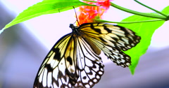 4K Butterfly Sucking Nectar from Flower, White Tree Nymph, Tropical Setting - stock footage