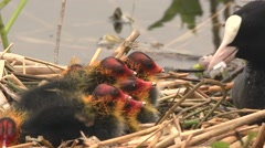 black coot with hatchlings - stock footage