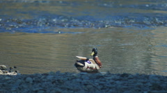 Ducks relaxing in the river, hd video slow motion Stock Footage
