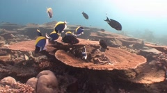 A flock of fish surgeons. Exciting diving in the Indian ocean near the Maldives. - stock footage