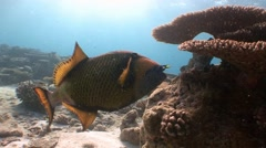 Trigger fish with powerful teeth easily bite the hard corals. Stock Footage