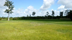 4k rice field asia green grass timelapse time lapse agricultural organic farming Stock Footage