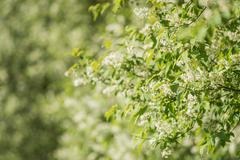 Twigs of blossoming bird-cherry tree - stock photo