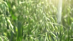 Cultivated oat field - stock footage