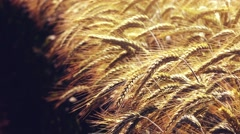 Cultivated rye field - stock footage