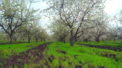 Cherry Blossom Trees. Stock Footage