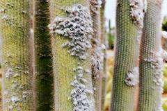 Close-up of cacti with lint in garden. - stock photo