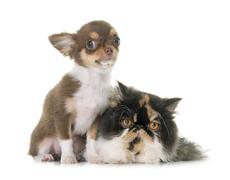 Tricolor persian cat and chihuahua Stock Photos