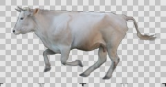 White cow runs on a transparent background. Stock Footage