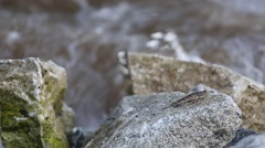 Mudskipper or Amphibious fish - stock footage
