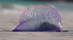Atlantic Portuguese Man o' war (Physalia physalis) on the Bermuda beach. Stock Footage