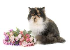 Tricolor persian cat Stock Photos
