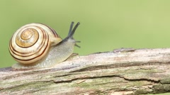 Grove or Brown-lipped Snail (Cepaea nemoralis) Stock Footage