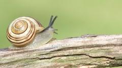 Grove or Brown-lipped Snail (Cepaea nemoralis) Arkistovideo