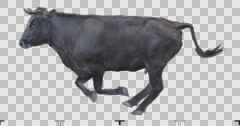 Black cow runs on a transparent background. Stock Footage