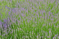 lavender bloomed in the garden - stock photo