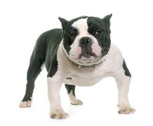Puppy american bully Stock Photos