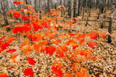 Young Maple Tree Grows In The Birch Grove. Maple With Red Leaves - stock photo