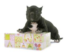 Puppy american bully Stock Photos