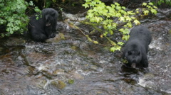 Two black bears hunting for salmon in the river Stock Footage